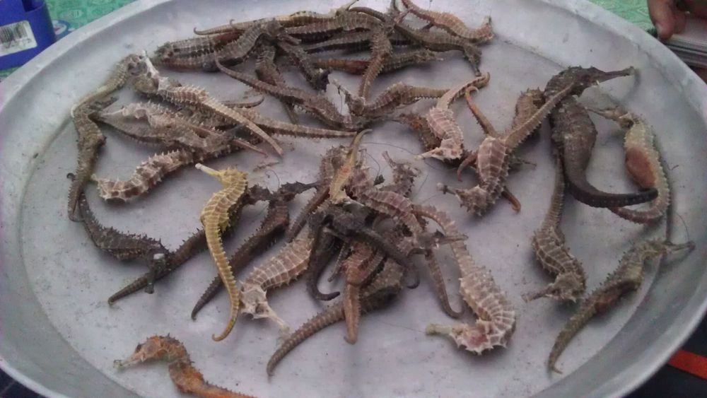 Seahorses collected by a local seahorse trader in Phuket, Thailand. The trader travels to ports in Phuket most afternoons to collect seahorses and other bycatch species (e.g., sea cucumber).  TC Kuo/Project Seahorse
