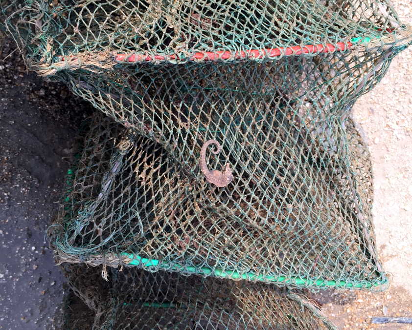 Other than trawl nets, other fishing gears can also catch seahorses incidentally in China. Here is an example of a shrimp trap which catches seahorses because seahorses use the net as holdfast.