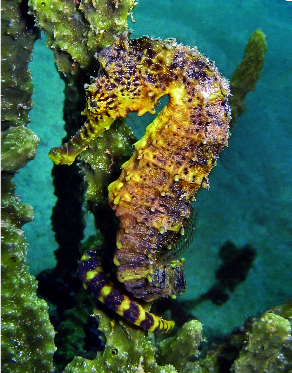 project seahorse Project seahorse (book) : turner, pamela s : project seahorse follows the work of two dedicated scientists as they explore the life cycle of the tiger tail seahorse.