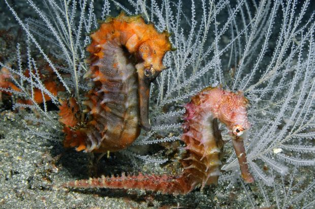 Hippocampus histrix.Photo by Bettina Balnis/Guylian Seahorses of the World