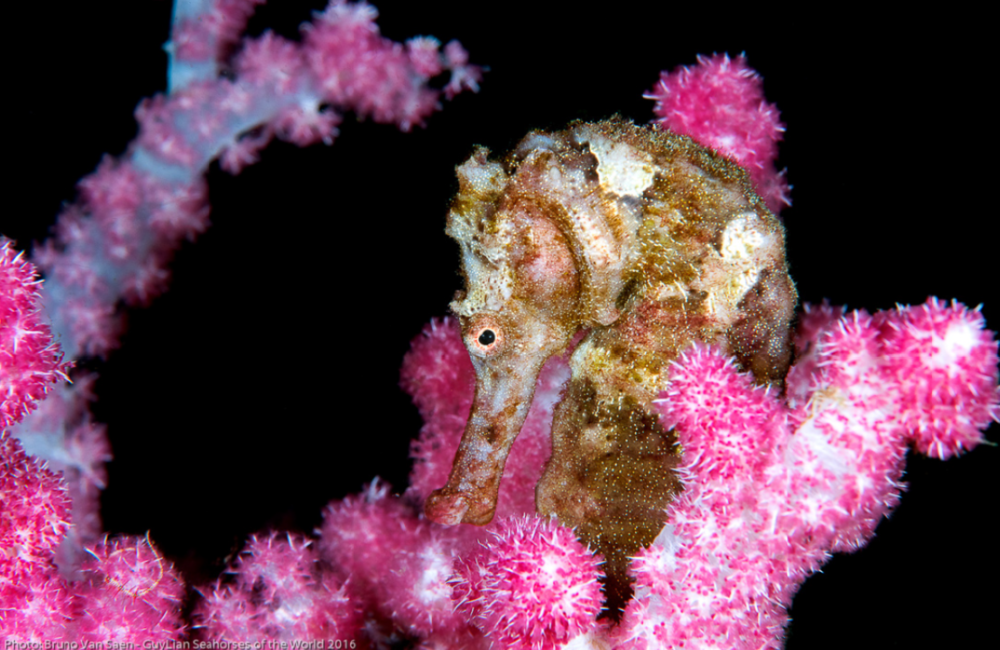Second place Grand Prize, Spotted seahorse ( H. kuda ). Photo by Bruno van Saen/Guylian SOTW