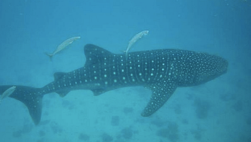The large but gentle whale shark. Source: Wikimedia Commons