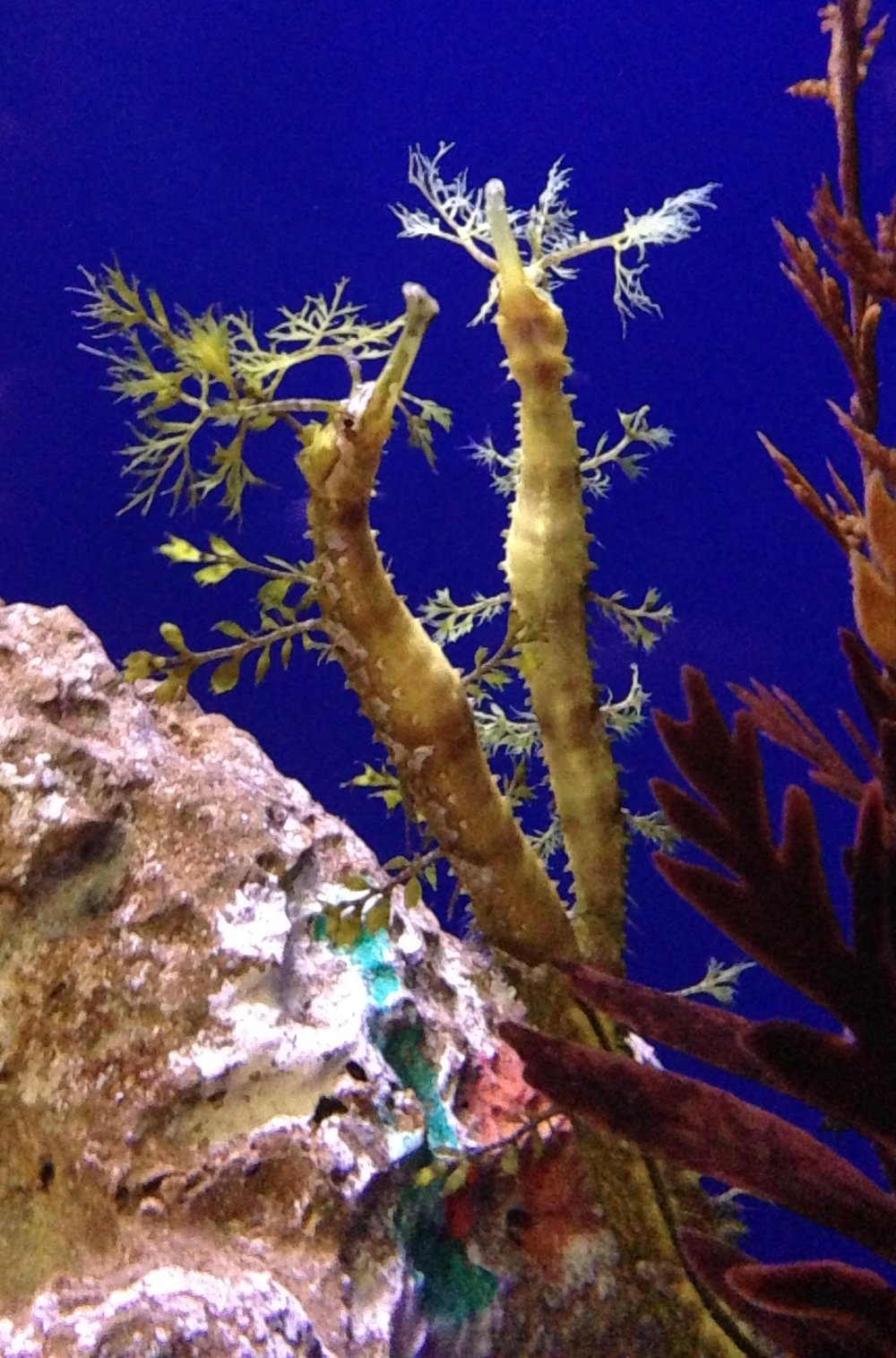 Ribboned pipefish, Haliichthys taeniophorus, at The Florida Aquarium