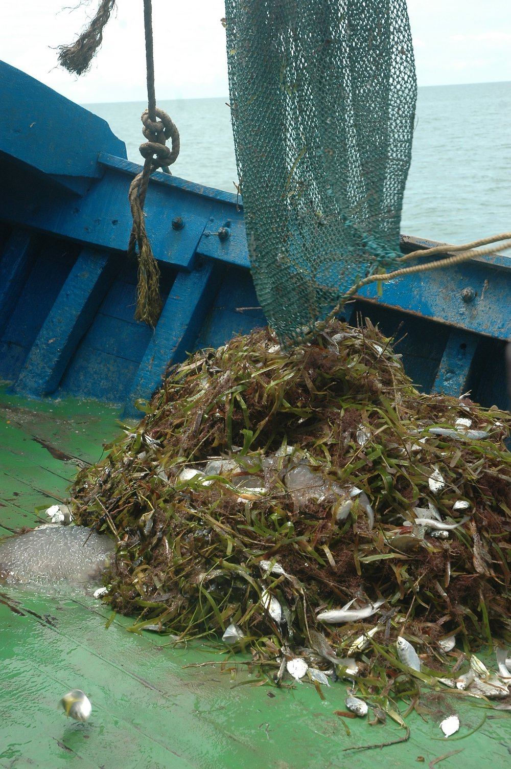 The catch was composed of mainly seaweed, a couple of seahorses and approximately five kilograms of edible fish.  Photo by Tanvi Vaidyanathan/Project Seahorse.