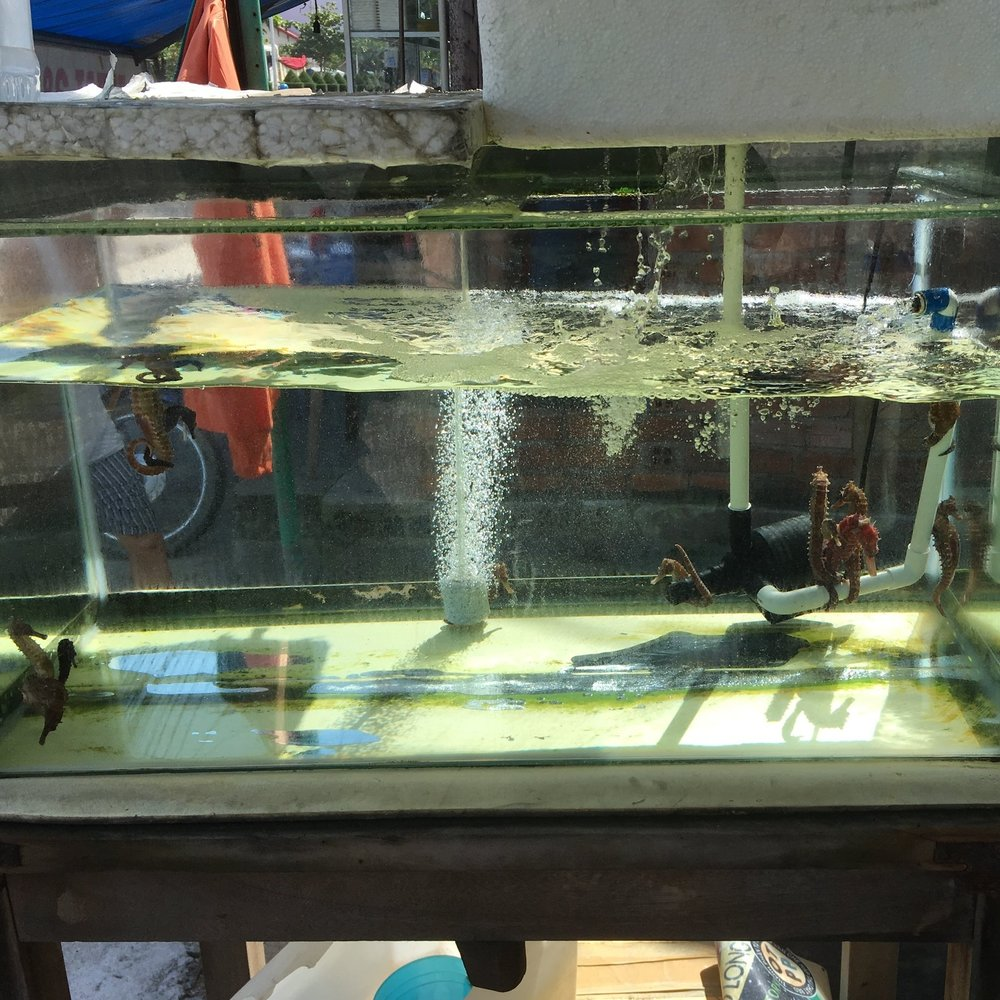 A tank of live seahorses for sale in one of the many shops in Nha Trang, Khanh Hoa Province. Many shops will sell live seahorses that a customer can purchase and place directly into alcohol. This method is believed to extract the best medicinal properties.