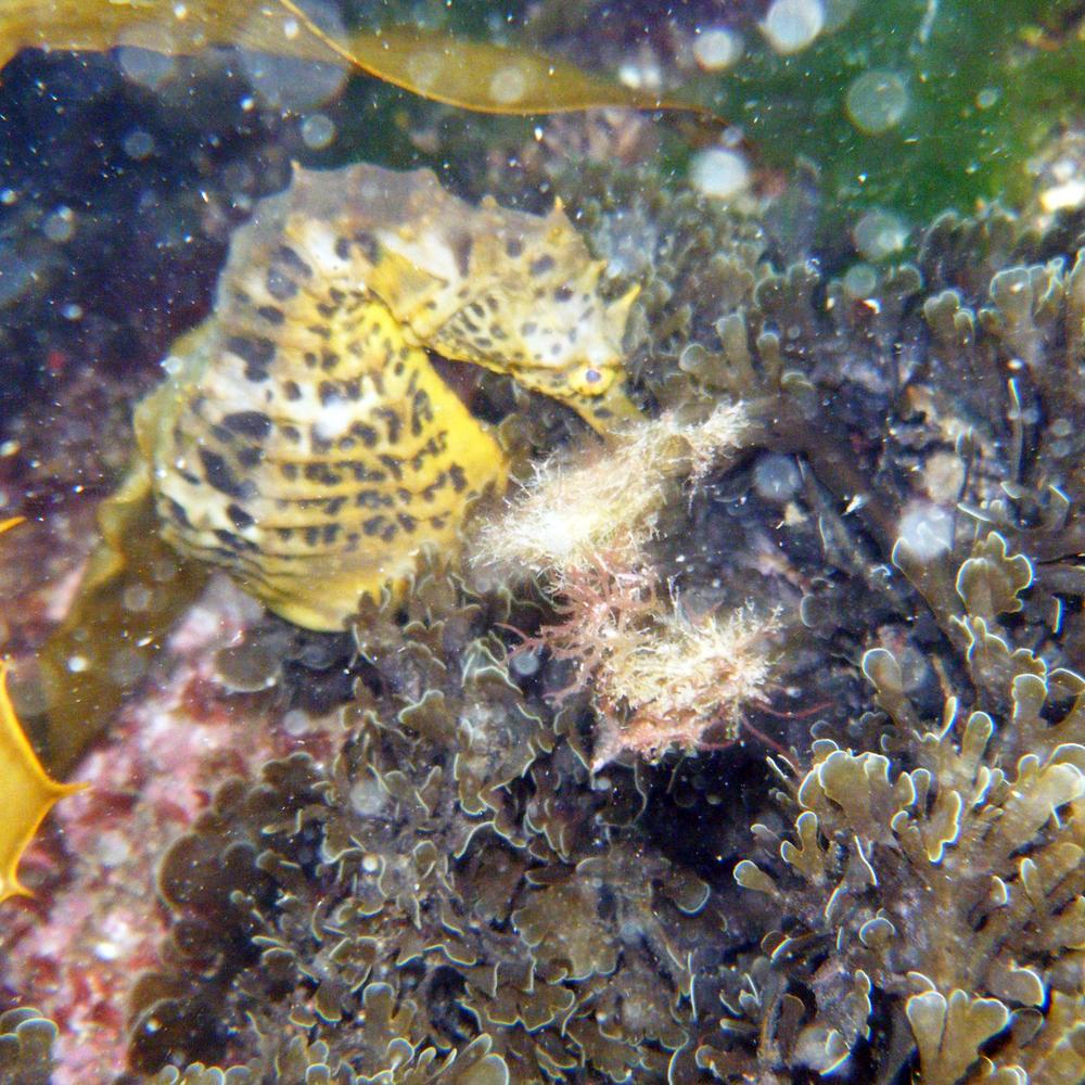 Hippocampus abdominali s, Bigbelly seahorse, photo by  psmythe , iSeahorse user