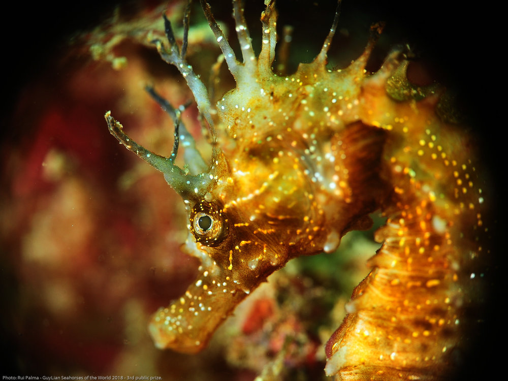 "3rd public prize. ""Seahorse face"" Long-snouted seahorse ( Hippocampus guttulatus)  in Sesimbra, Portugal. Photo by Rui Palma/Guylian Seahorses of the World."