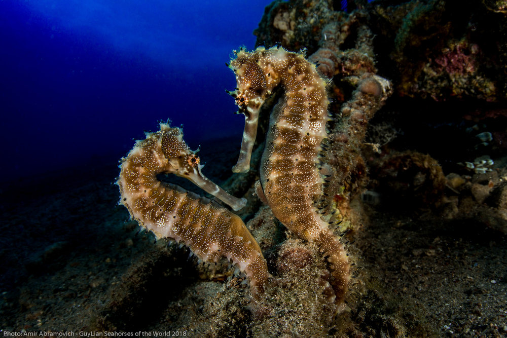 New paper   How can we prioritize seahorse conservation at broad spatial scales?   Protecting marine species requires conservation plans at broad scales. Yet broad-scale conservation planning is rare and difficult for marine species.  Here we provide some useful techniques…   Read more  >
