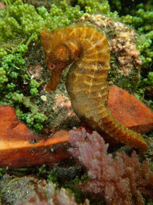 Pacific seahorse ( Hippocampus ingens ). Photo by Rémi Bigonneau