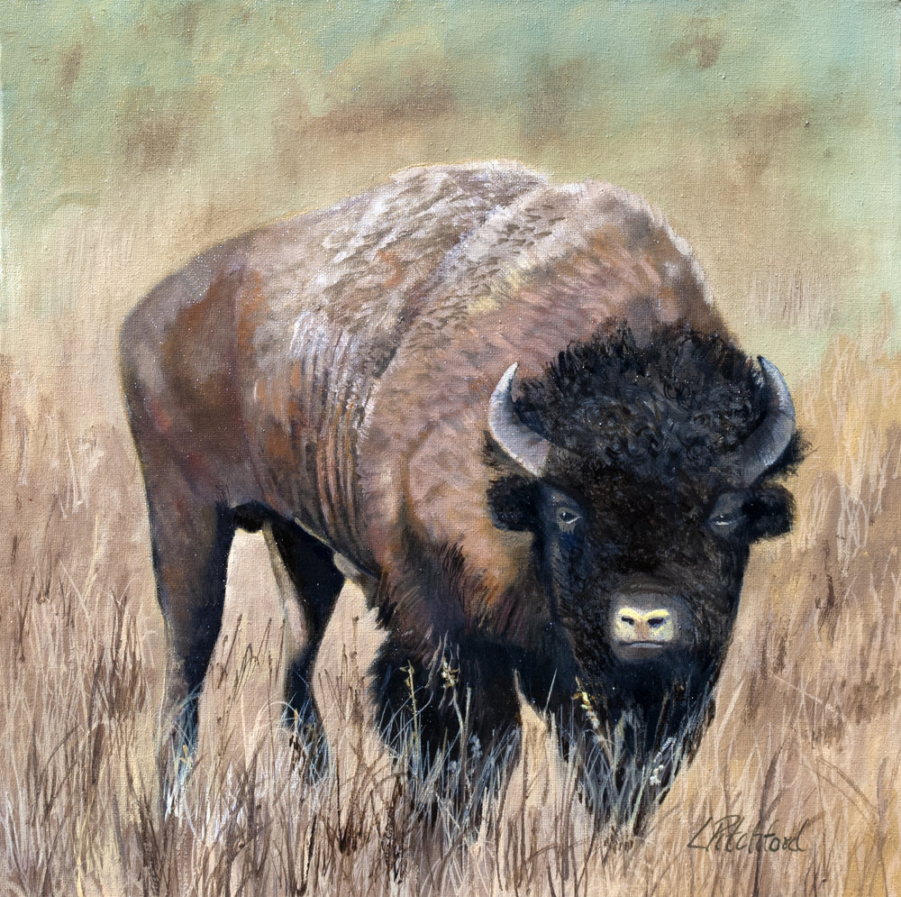 Buffalo of the American Sarengeti