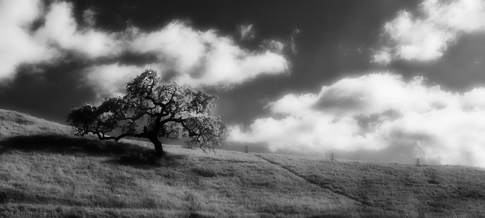 Los Olivos Oak IR