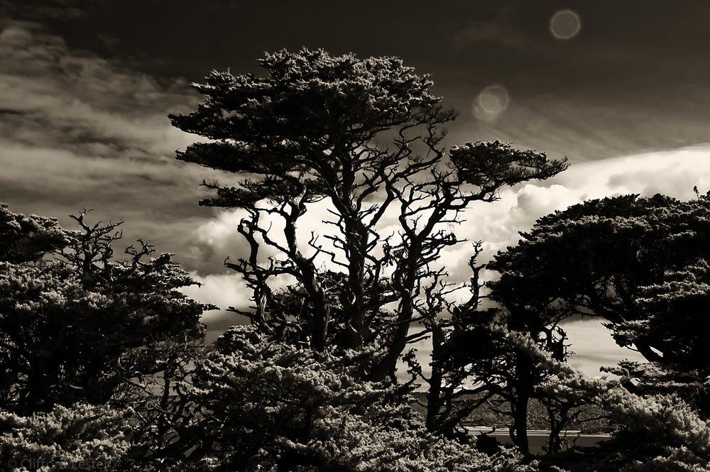 Monterey Coast Oak II
