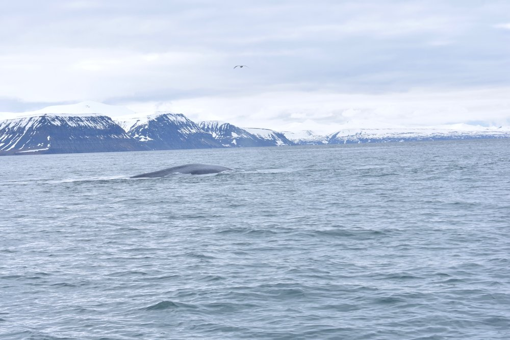 blue-whale-svalbard-high-arctic-cirlce