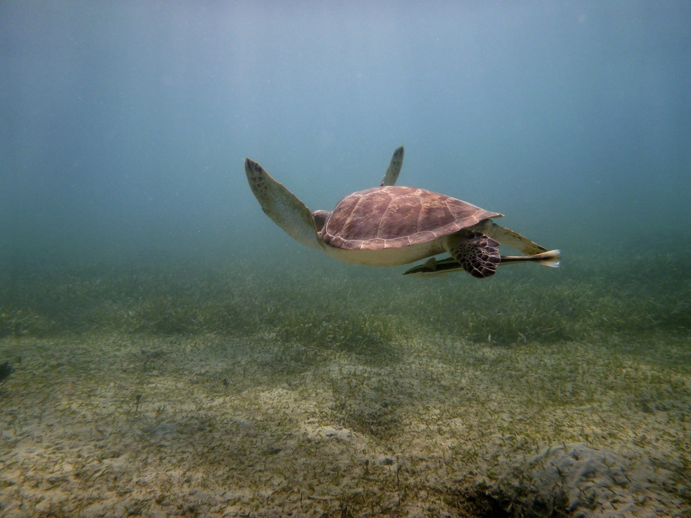 Fig. 2 A green sea turtle, and remora in tow, searching for suitable seagrass to feed on.