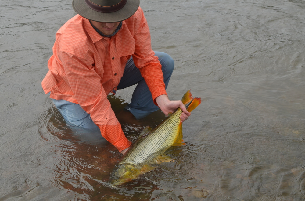 Fig. 1 A golden dorado to be released after inserting a radio transmitter for tracking. Photo by Kim Ovitz
