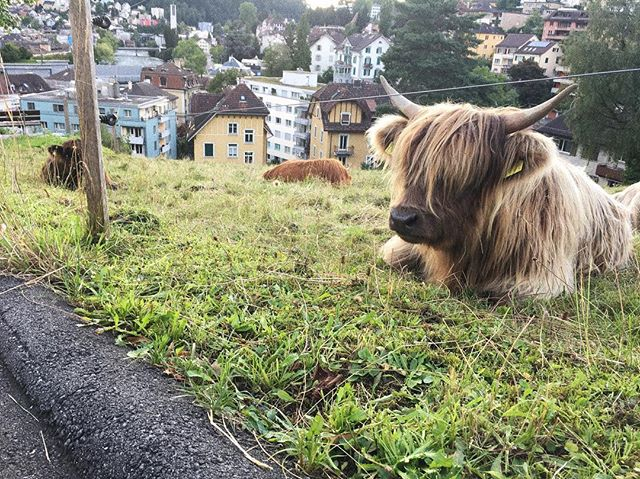Ready to join the heritage highland cattle guild in Lucerne! They are raising cows, llamas, chickens, goats, pigs, and managing a community garden right in the middle of the city!