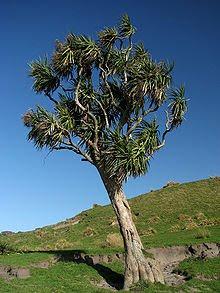 Ti Kouka Tree
