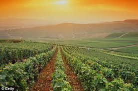 bordeaux sunny vineyard