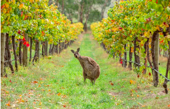 kangaroo on an australian vineyard