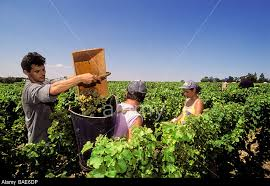 grape pickers bordeaux
