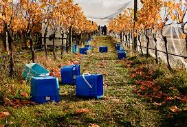 central otago grape picking