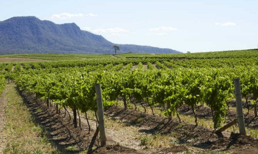Hunter valley, NSW vineyard