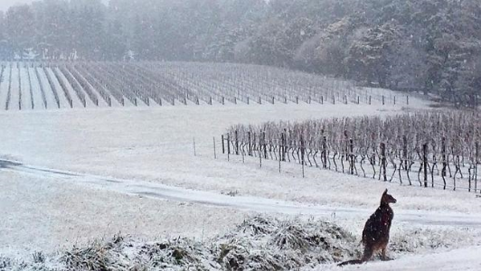 orange wine region vineyard in winter