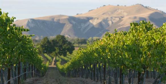 Nielson vineyard Santa Barbara