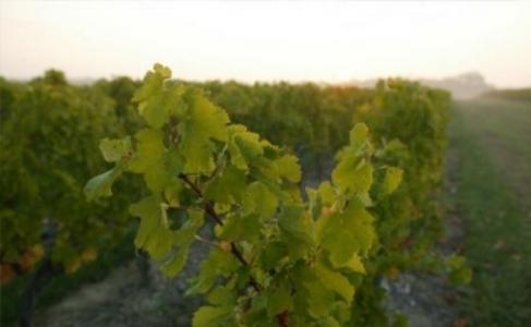 chateau clarke vineyard