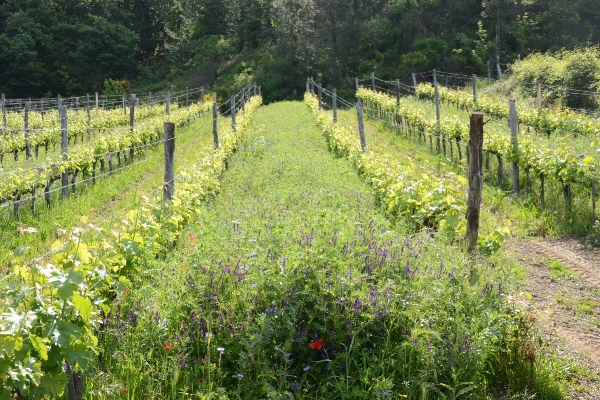 Organic vineyard with wild flowers
