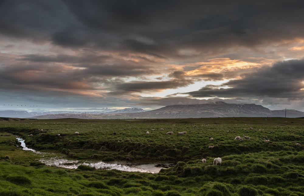 iceland-landscape-sheep.jpg