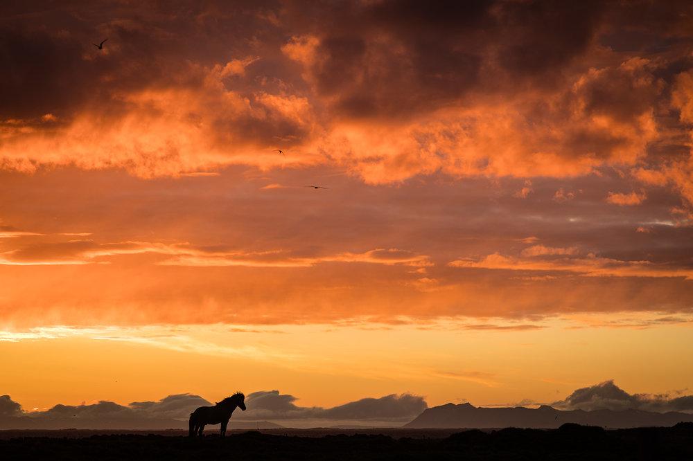 iceland-horse-midnight.jpg