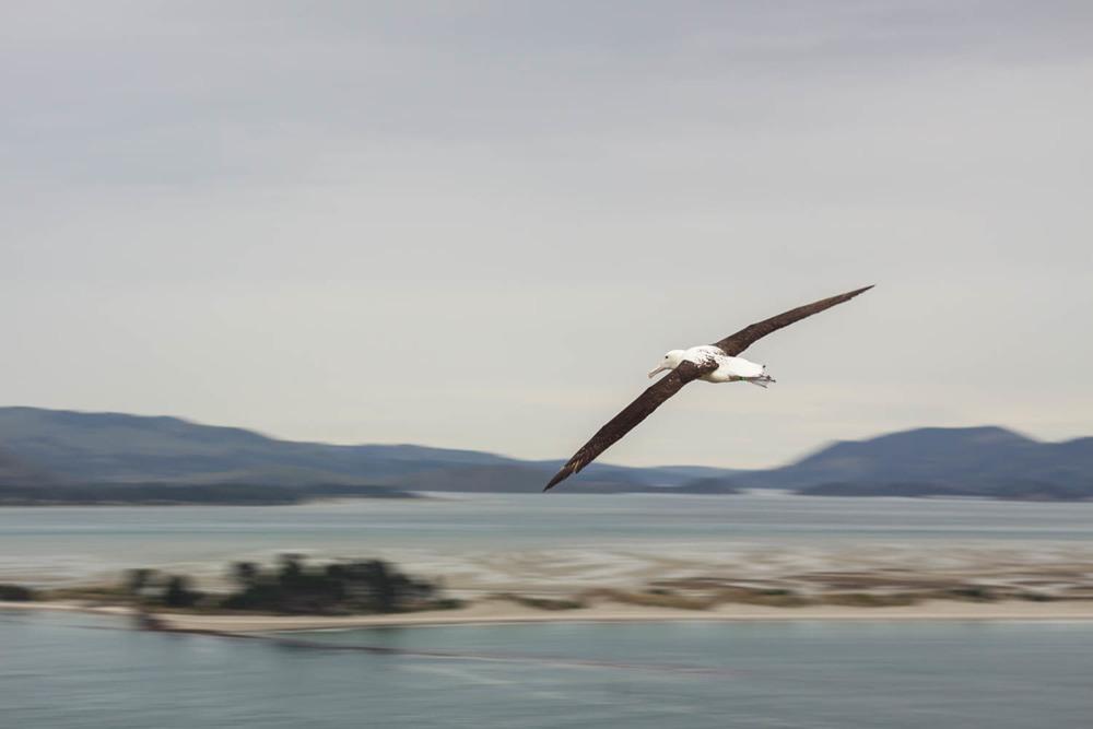 Albatross, Dunedin, Otago Peninsula