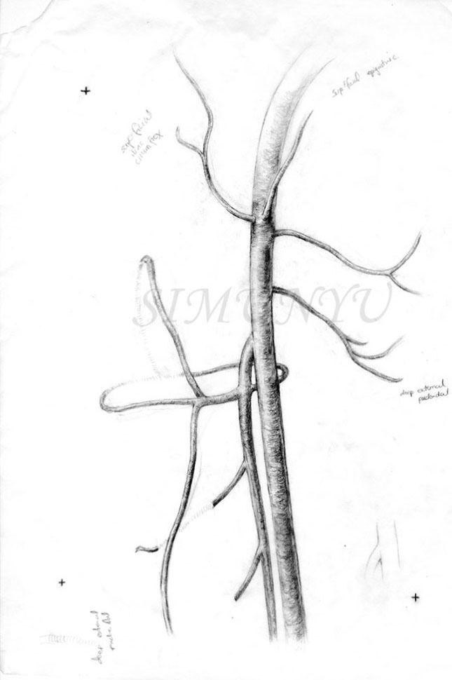 Femoral Artery Simunyu Biomedical Visuals