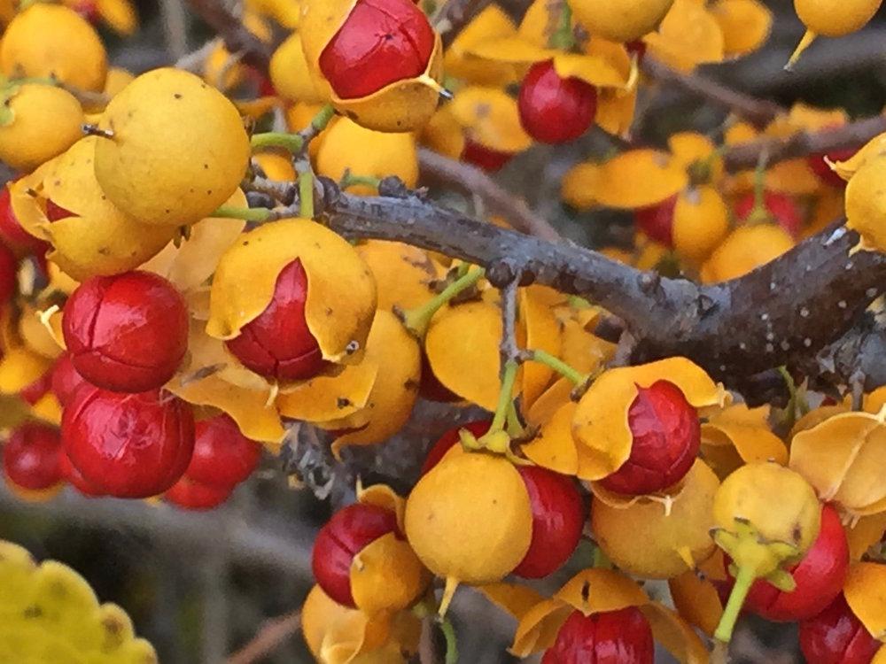 yellow berries.jpg