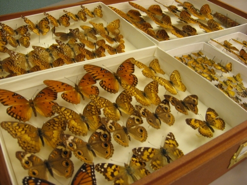 Butterflies, American Museum of Natural History, New York, 2009 (S J Kessler)