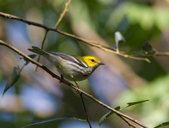 shadecoffee_a-black-throated-green-warbler.jpg