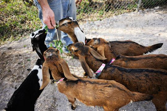 yee_goats2.jpg