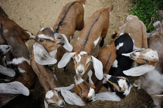 yee_goats1.jpg