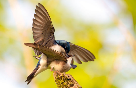 un_slideshow4_tree_swallows.jpg