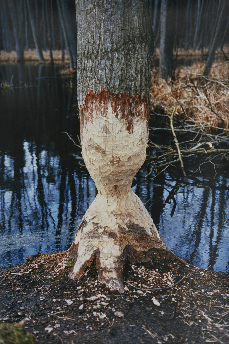 What You Never Thought You'd Find    (The Beaver Tree) , 2015  C-Type Hand Print  114 x 76 cm