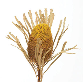 BANKSIA  $11.25/bunch or $10.75 for 8+ bunches - 3 STEMS/BUNCH