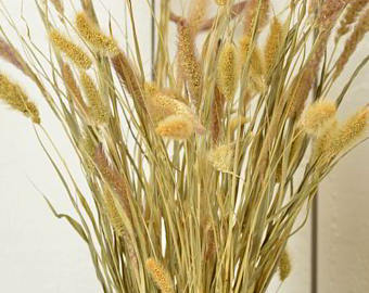 FOXTAIL MILLET$7.00/bunch - 4oz.BUNCHES