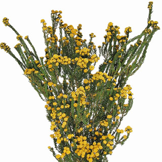 PHYLLICA$11.50/bunch or $11.00 for 12+ bunches - 5 - 6oz. BUNCHES (12 - 22