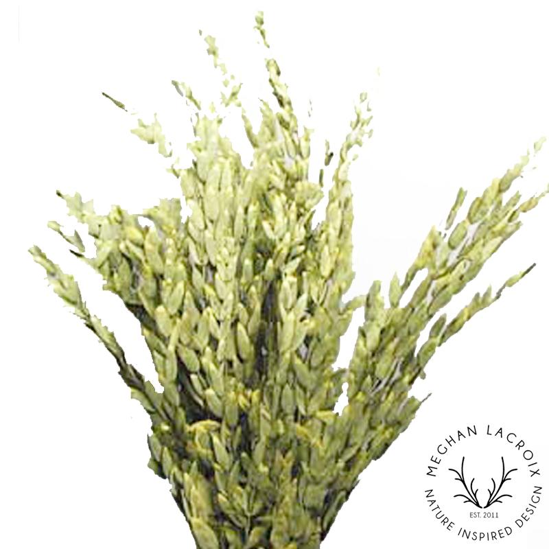 Teardrop Eucalyptus - Chartreuse -