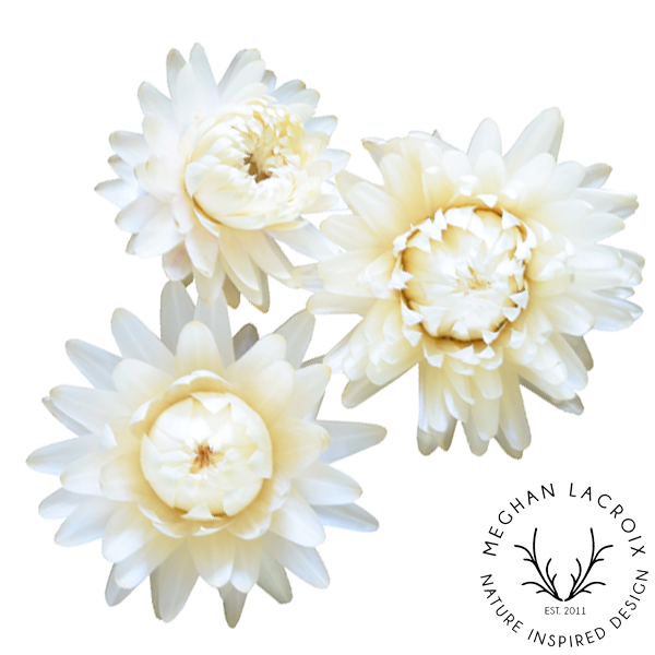 Straw Flower - Creamy White -