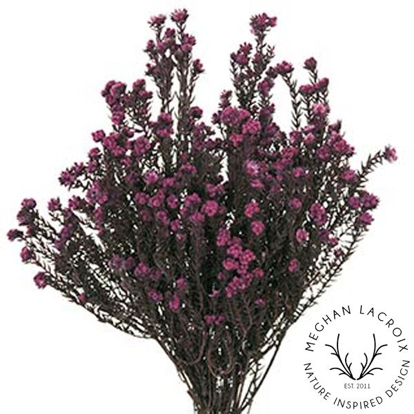 Phylica - Purple -