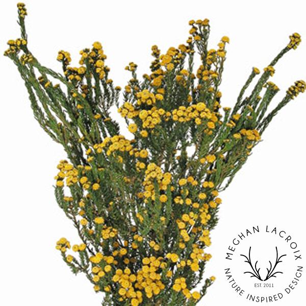 Phylica - Golden Yellow -
