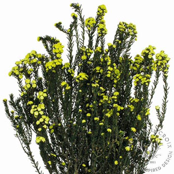 Phylica - Yellow -