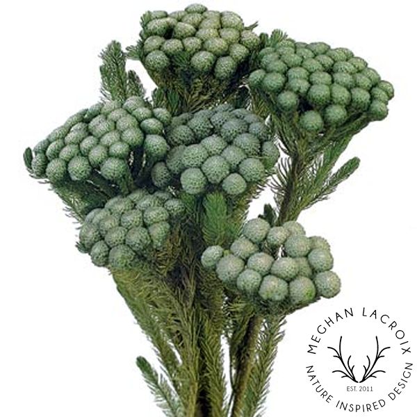 Natural Albiflora -